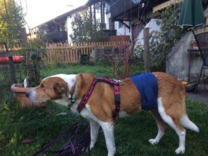 Hilfsmittel für Tiere: Zum sicheren Sitz - Maßgefertigte Windel für einen Rüden