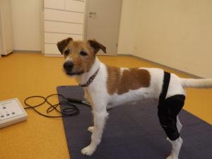 Hilfsmittel für Tiere: Kniebandage bei Kreuzbandverletzung, Patellaluxation, Knieinstabilitäten...